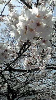 sakura-tubuyaki.jpg